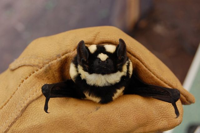 53e63257b5953e74feda4c1 - Encuentran en África un nuevo murciélago parecido a un panda